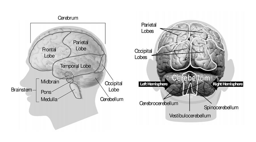 Understanding the Brain and Brain Injuries